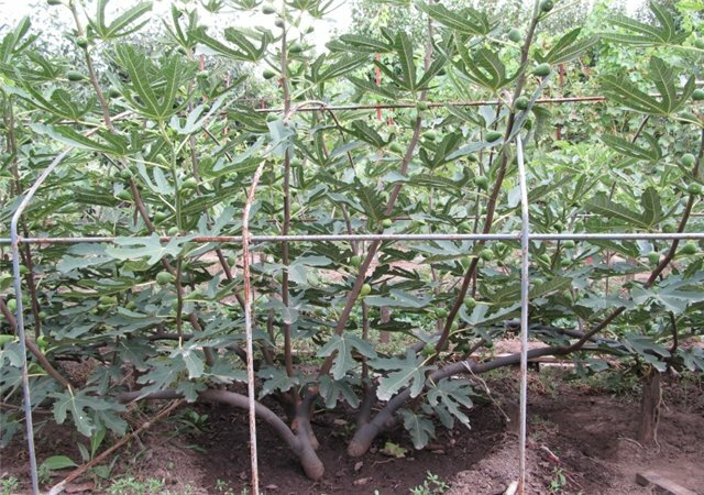 Как выращивать инжир дома в горшке, посадка и уход за комнатным инжиром