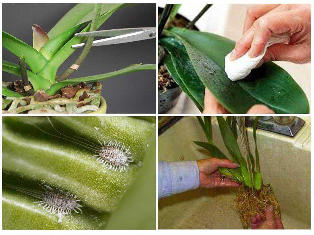 Мучнистый червец: как бороться на комнатных растениях, борьба в домашних условиях