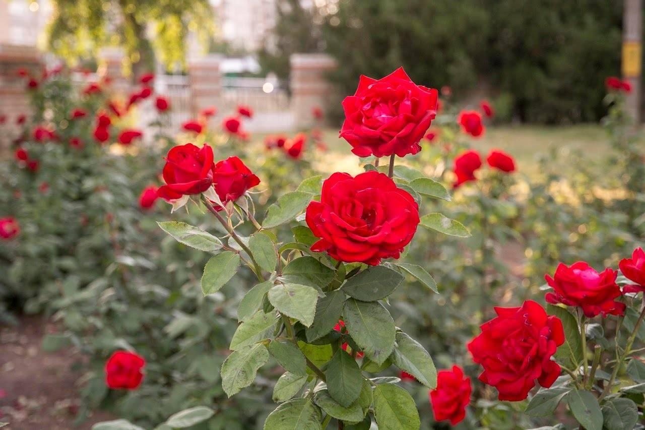 Все о голландских розах: особенности выращивания, посадки и ухода