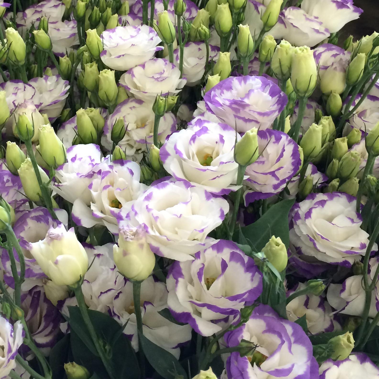 Каменные розы — что за цветы, посадка и уход дома и в саду