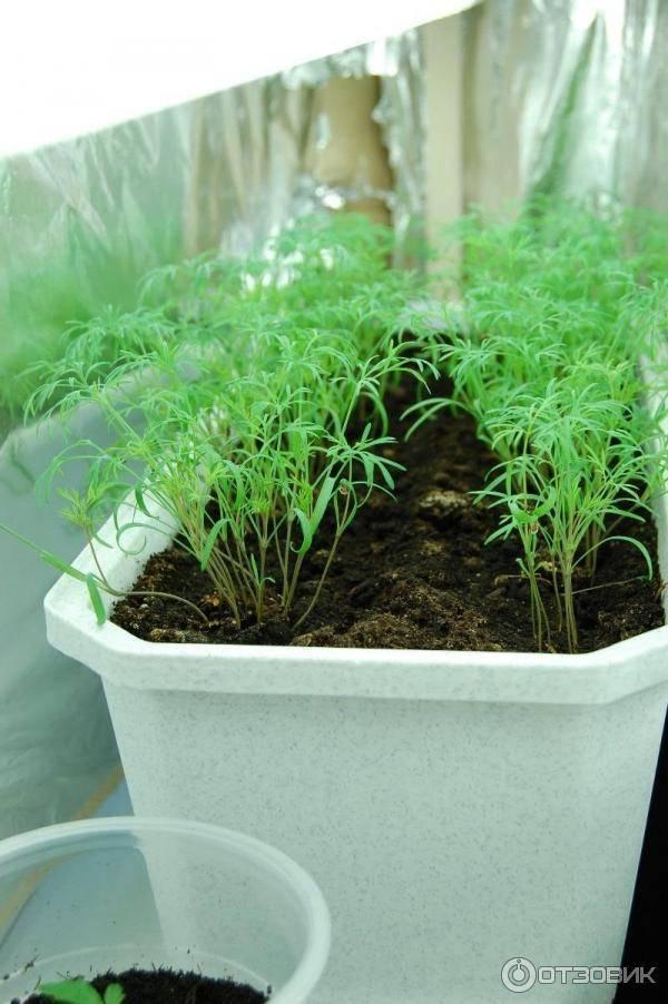 Особенности выращивания укропа в домашних условиях