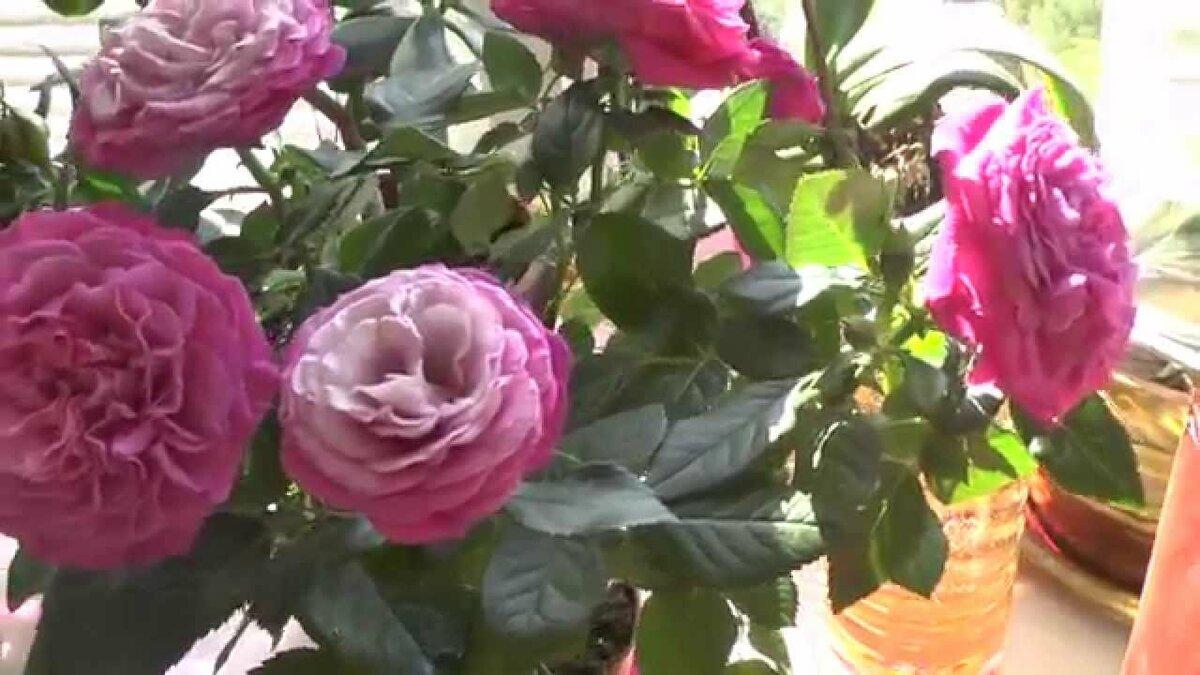 Как ухаживать за розой микс в домашних условиях после покупки: популярные сорта