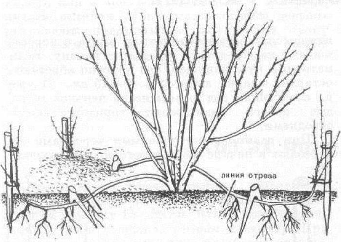 Обрезка спиреи: как обрезать весной и летом? стрижка спиреи для начинающих. можно ли подстричь спирею осенью?