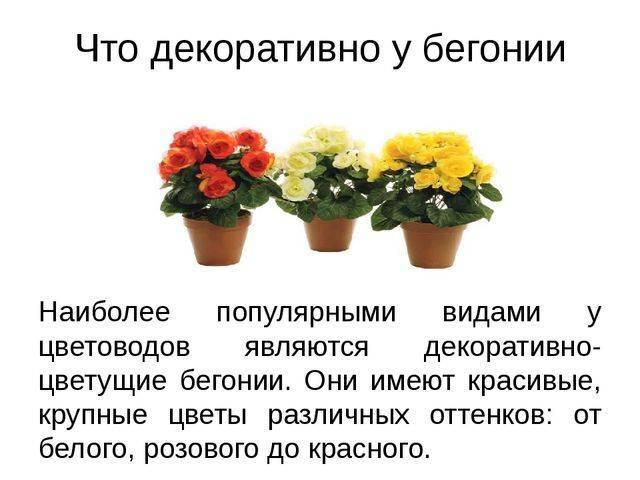 Цветок бегония элатиор — уход в домашних условиях