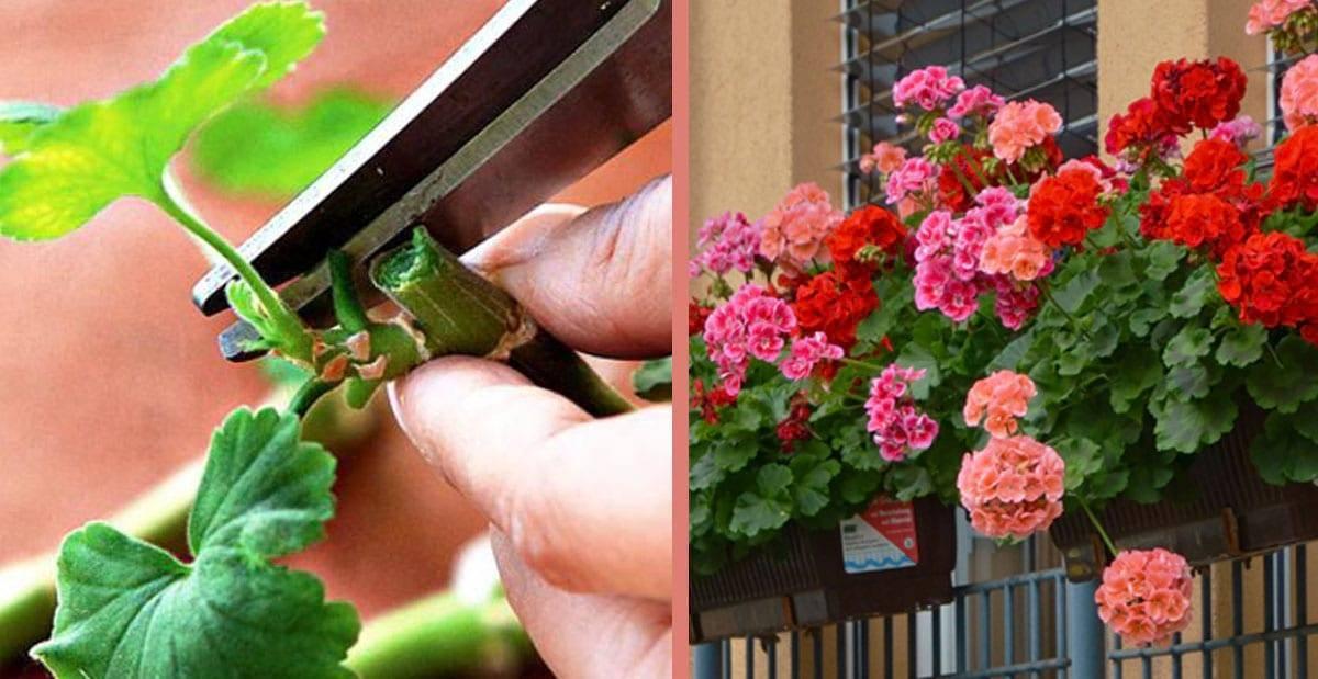 Как обрезать герань на зиму (осенью), когда правильно прищипывать, чтобы она цвела, формирование кроны + фото и видео