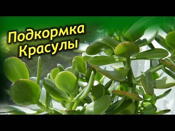 Уход за толстянкой (денежным деревом, крассулой) , как не погубить толстянку