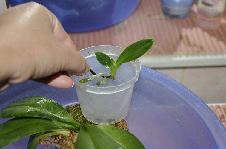 Орхидея фаленопсис: размножение в домашних условиях с фото, а также пошаговая инструкция по выращиванию различными способами и рекомендации по уходу