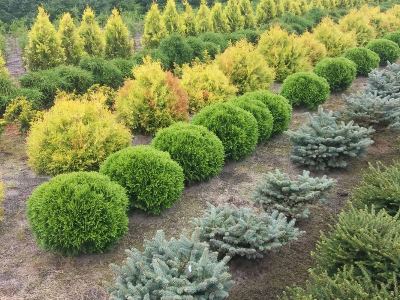Виды кустарников хвойных: список, посадка и уход в открытом грунте
