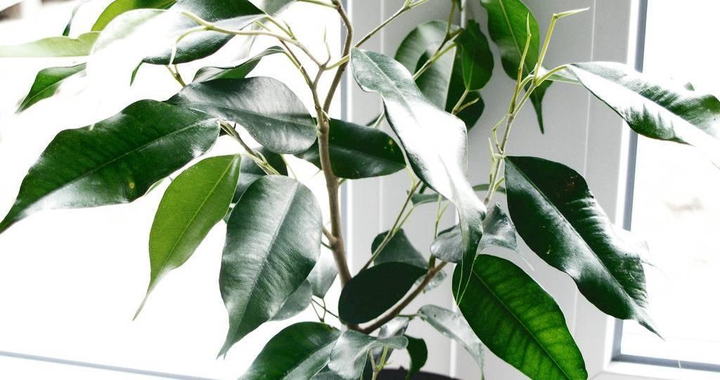 Фикус бенджамина: уход, полив и размножение в домашних условиях