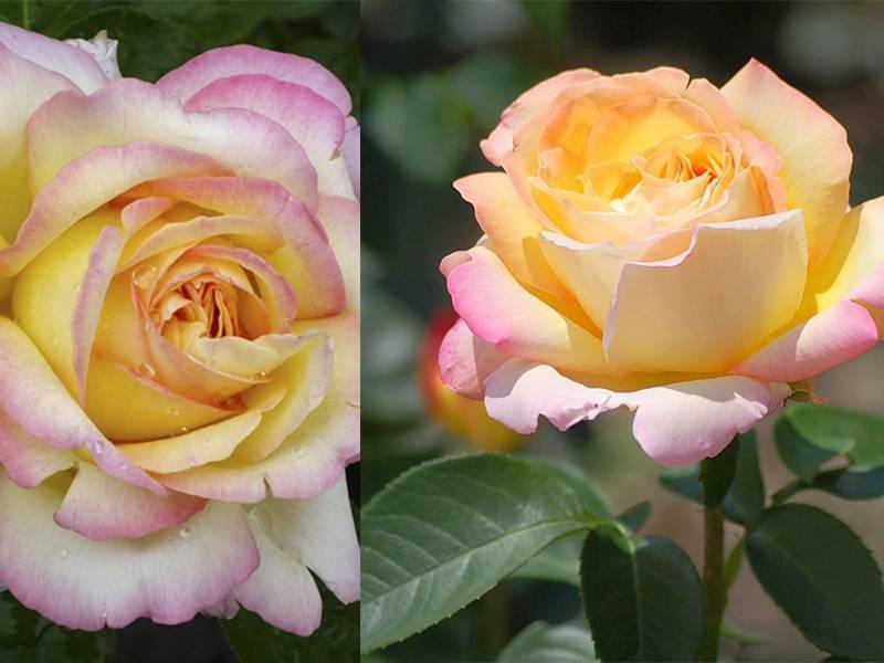 Размножение роз черенками | о розе