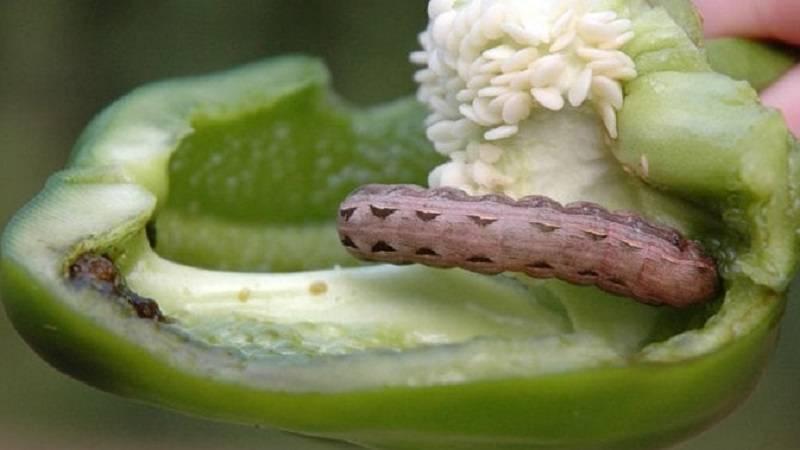 Зеленые мошки на розах — как бороться с вредителями