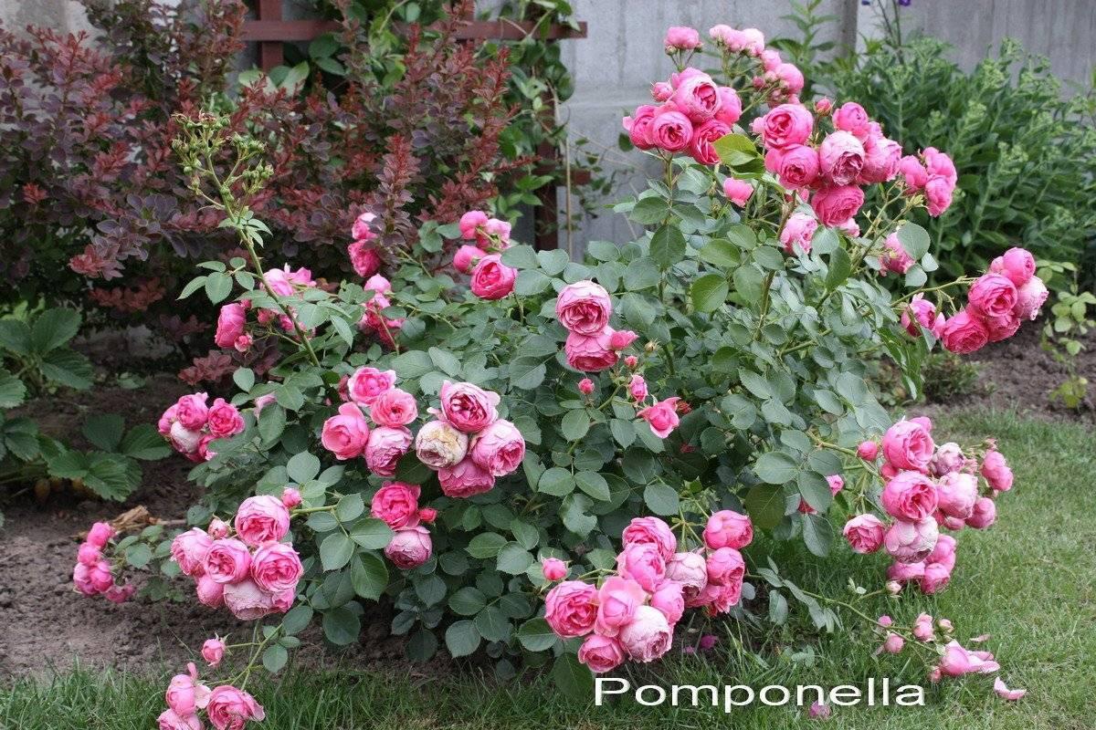 Яркая красавица — роза «пинк флойд». описание и фото сорта, советы по выращиванию