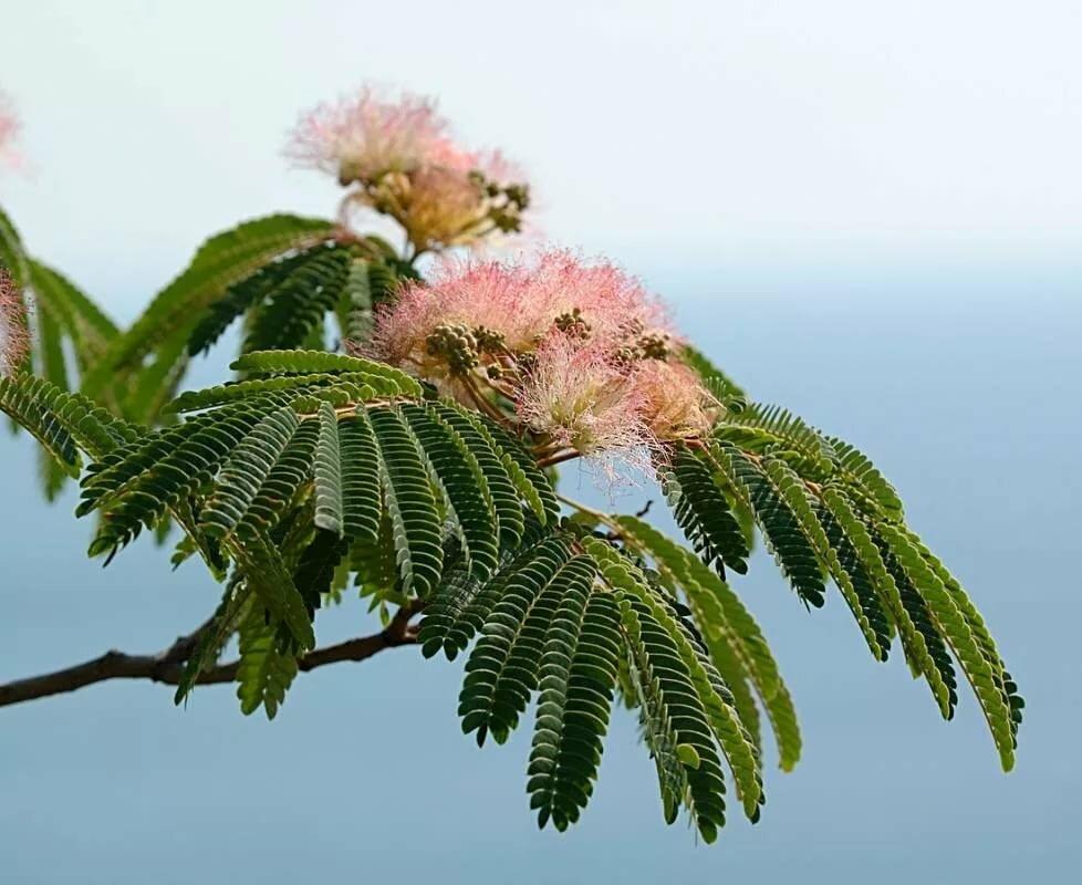 Альбиция ленкоранская (крымская акация): описание растения