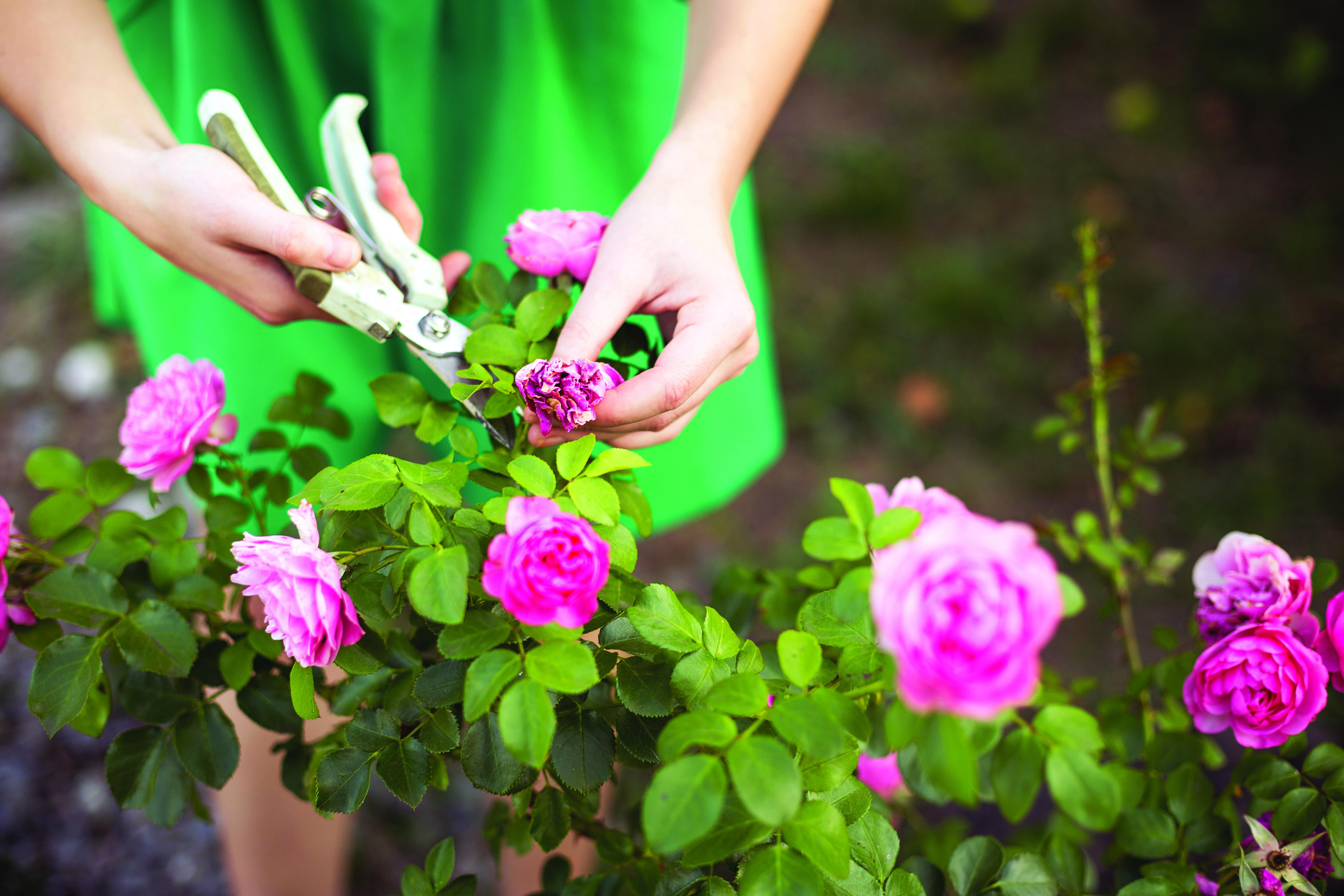 Перечень правил ухода за розами весной, летом, осенью