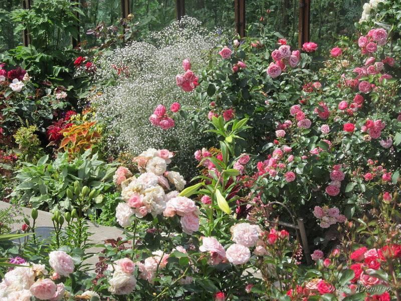 Розы флорибунда - история, особенности, агротехника, сорта   о розе