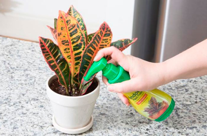 Уход в домашних условия за кротоном (кодиеумом): посадка, полив, обрезка и цветение растения с фото