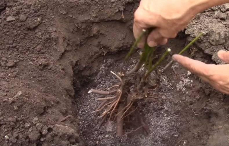 Пересадка пионов - когда лучше: осенью после цветения или летом