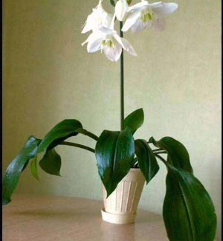 Эухарис (амазонская лилия): фото цветка, описание, особенности ухода в домашних условиях