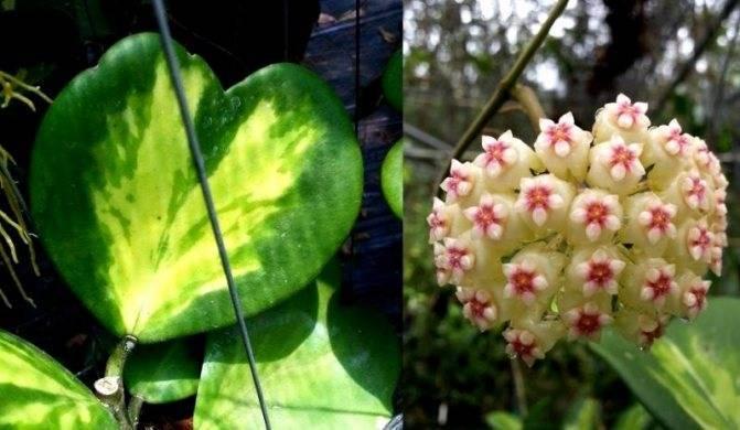 Хойя пубикаликс: сильвер пинк, сплеш, ред, описание этих видов и их фото, а также выращивание hoya pubicalyx и уход за растением и корневой системой