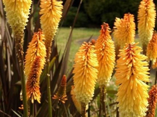 Цветы книфофия: фото, посадка и уход, выращивание из семян