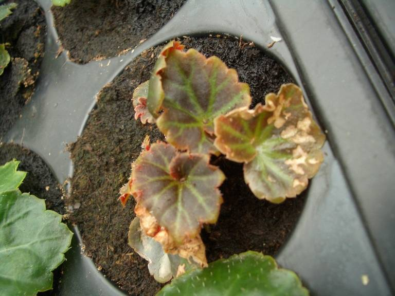 Бегония в горшке или садовая сохнет и вянет. почему растение капризничает и можно ли его спасти?