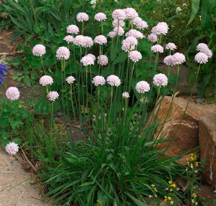Армерия — яркий букет в вашем саду