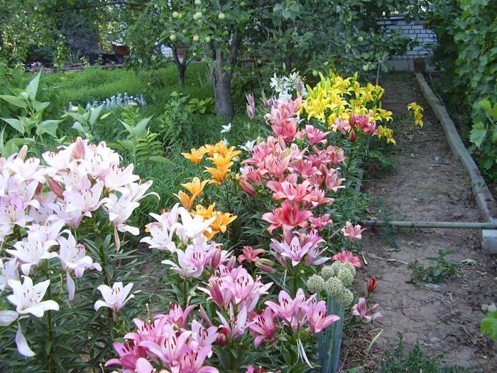 Выращивание лилий в домашних условиях, посадка и уход