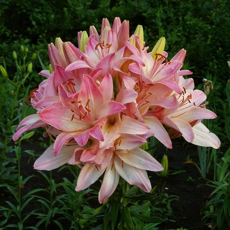 Лилии – классификация и выращивание
