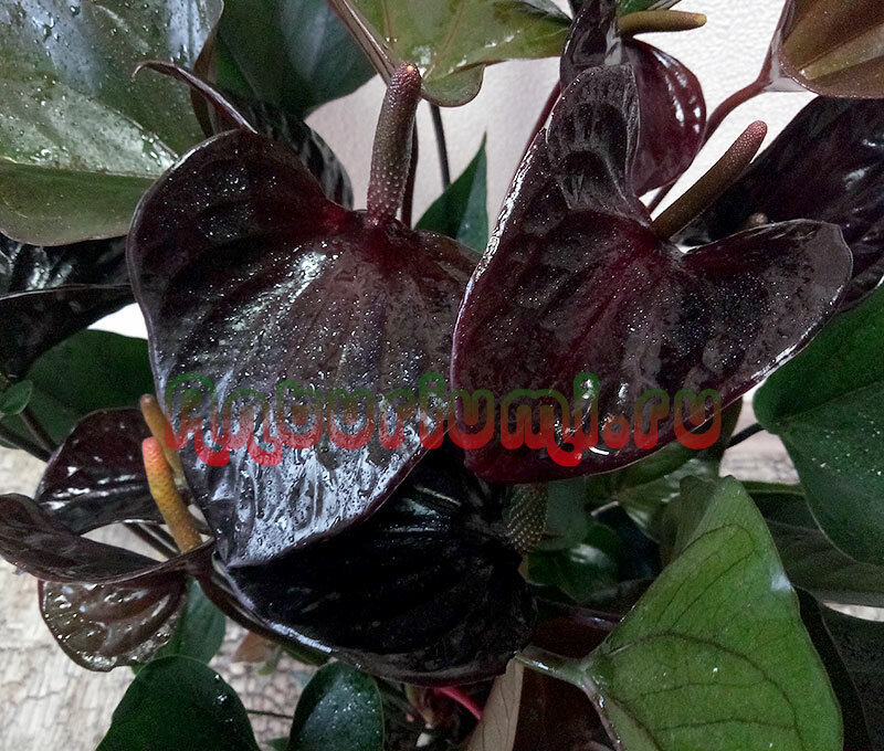 Антуриум блэк квин: описание, размножение, уход, пересадка