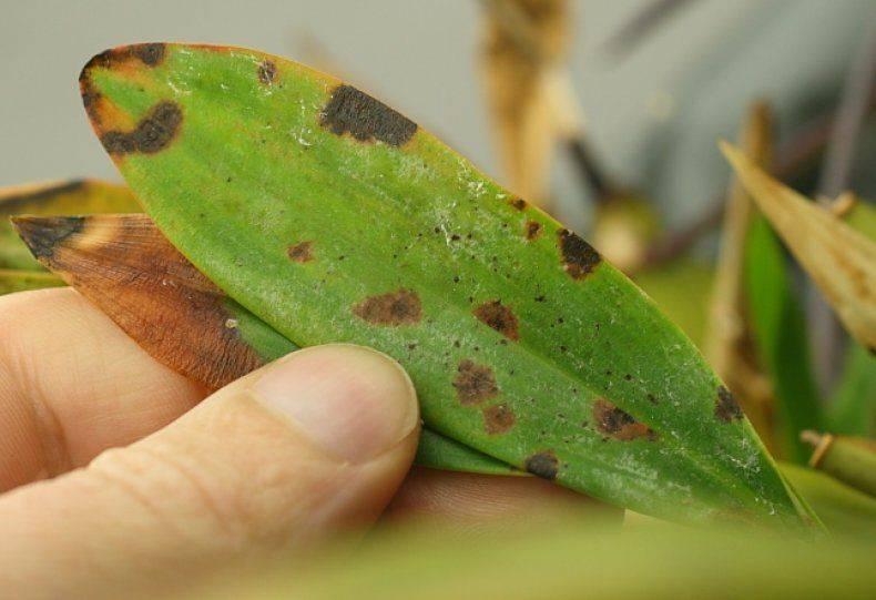 Что делать, когда липкие листья у орхидеи фаленопсис?