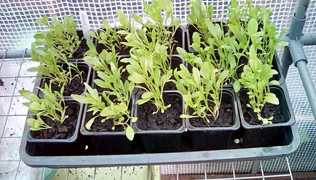 Немезия: посадка и уход, выращивание, фото, описание - читайте на орхис