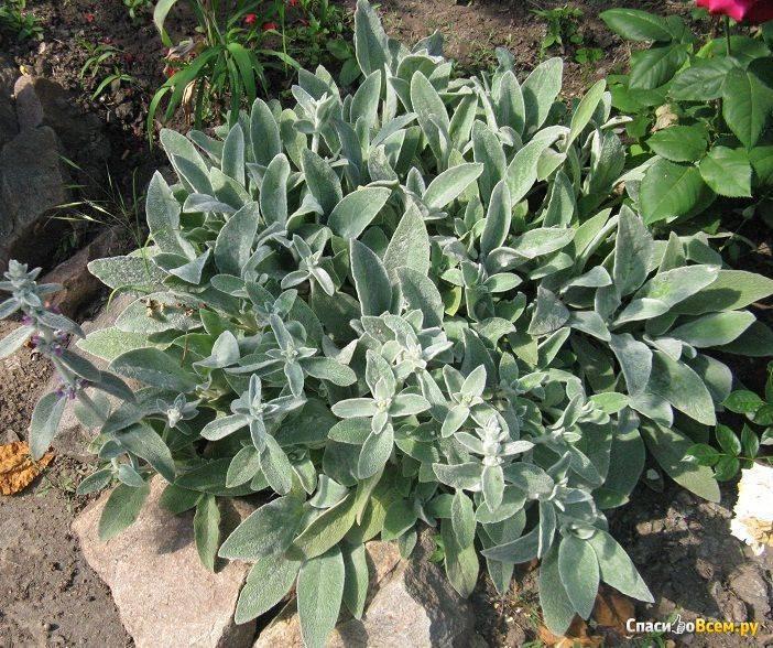 Шерстистый чистец, или стахис: мохнатое украшение сада