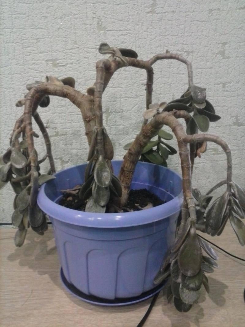 Осыпаются листья у денежного дерева из-за болезни толстянки и плохого ухода в домашних условиях, и что делать, если сбрасывает зимой, почему поникли и опадают ветки?