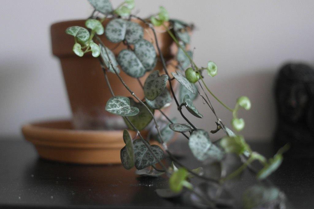 Комнатный цветок — церопегия, популярные виды (вуду, сандерсона, вариегатная) с фото