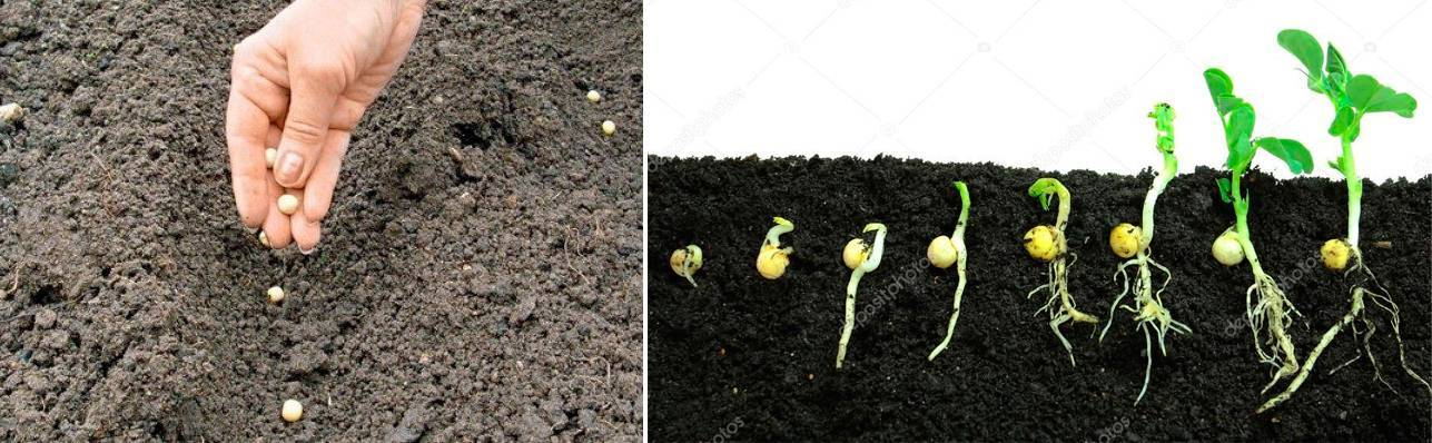 Когда и как сажать горох в открытый грунт: сроки, правила посева и выращивания
