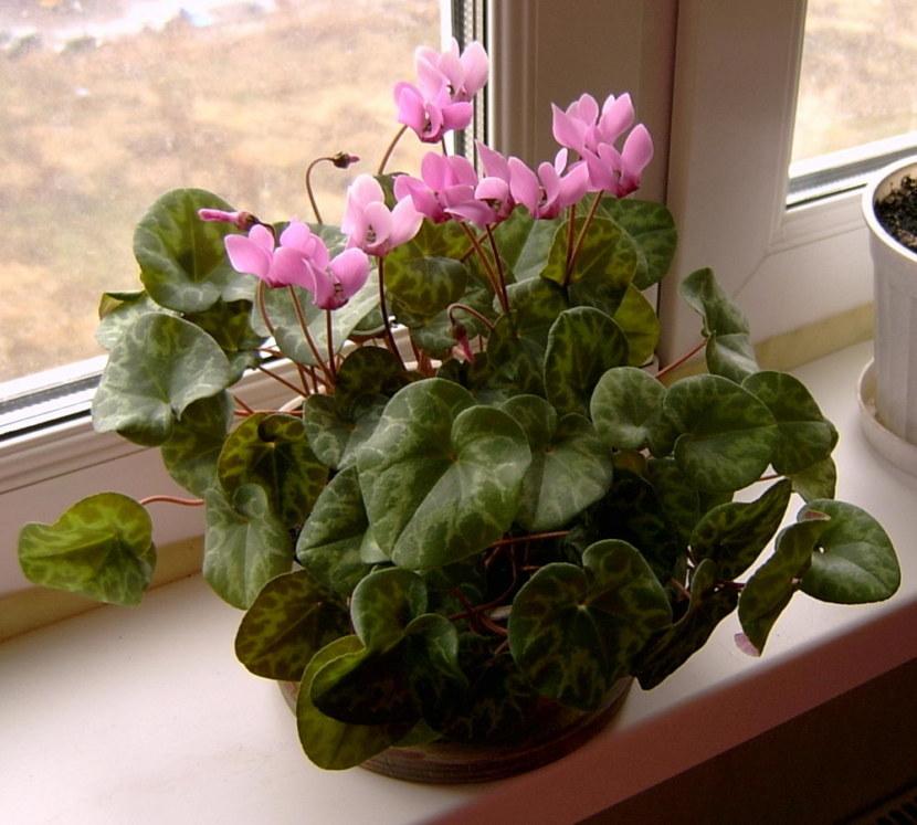Уход в домашних условиях после покупки за цикламеном персидским и другими разновидностями этого цветка: правила содержания, когда и как его пересаживать?