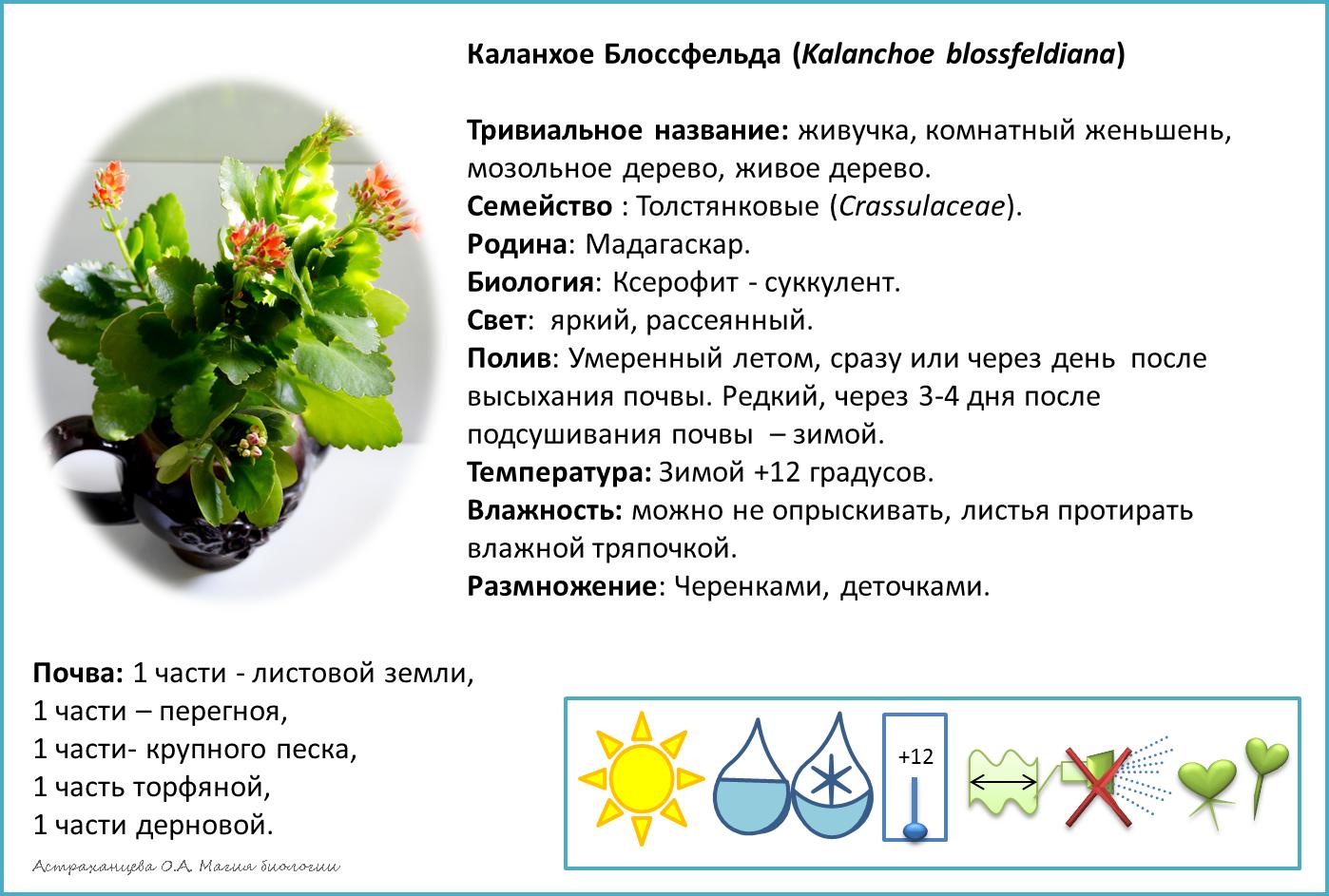 Каланхоэ: лечебные свойства и противопоказания.