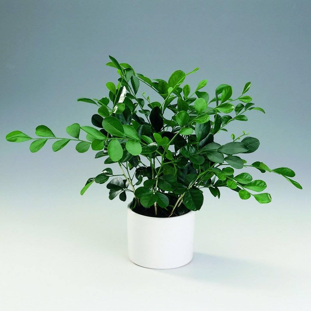Мурайя (54 фото): особенности ухода за растением в домашних условиях, описание и характеристика мурайи кенига