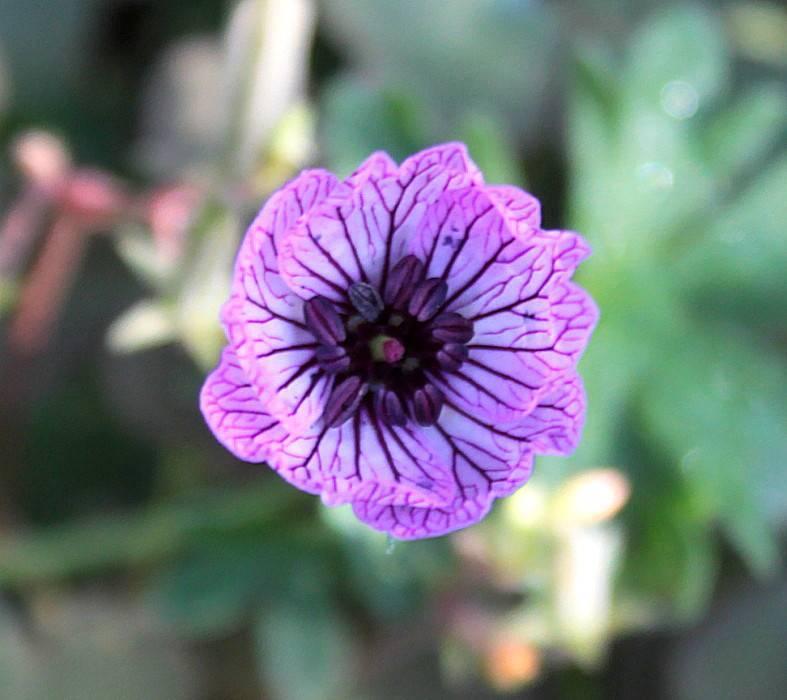 Разновидности герани: садовая красная герань, луговая белая герань, лесная плющевидная и сорта герани на фото