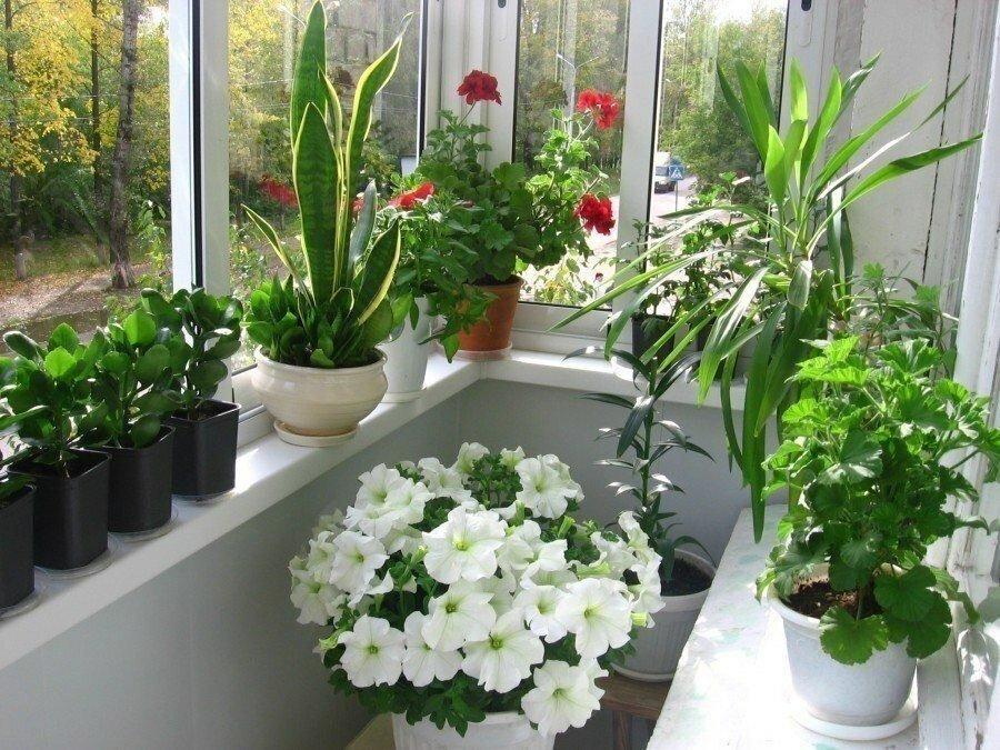 Цветы пионы — классификация розовых, красных, бордовых видов