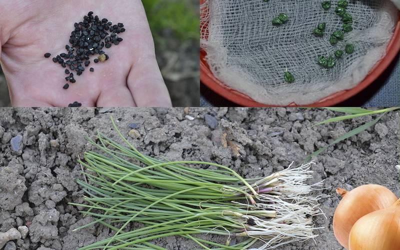 Астранция: посадка и уход в открытом грунте, выращивание из семян, фото