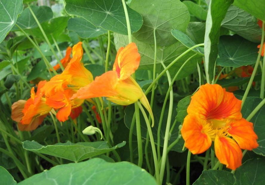 Настурция цветок — классификация многолетних сортов