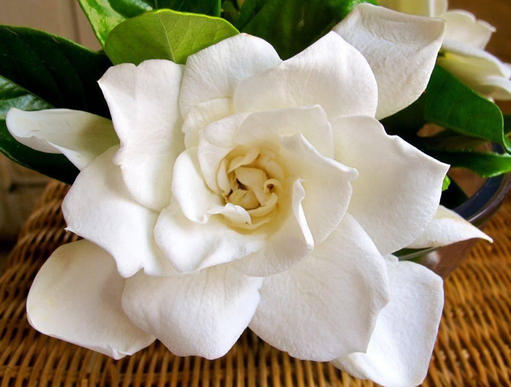 Гардения: уход в домашних условиях и фото для начинающих, а также что с ней делать после покупки, обрезка комнатного цветка, пересадка в новый горшок