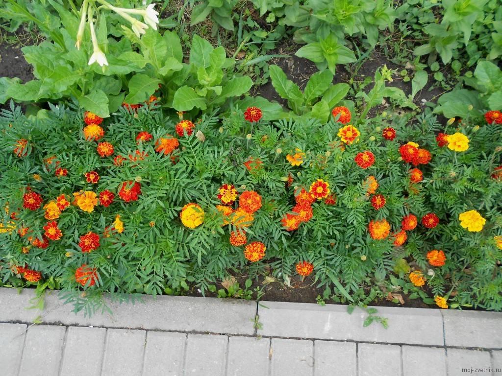 Бархатцы — выращивание из семян, когда сажать, как ухаживать?