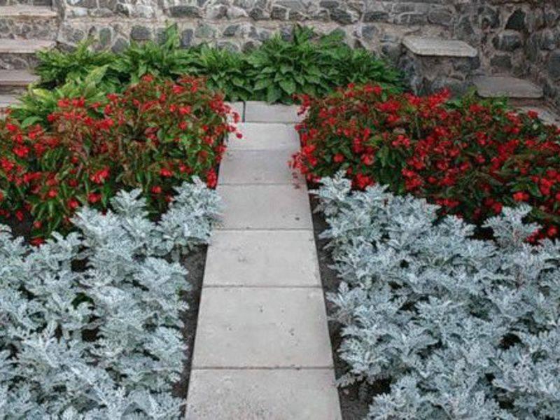 Цинерария серебристая: разновидности и секреты выращивания