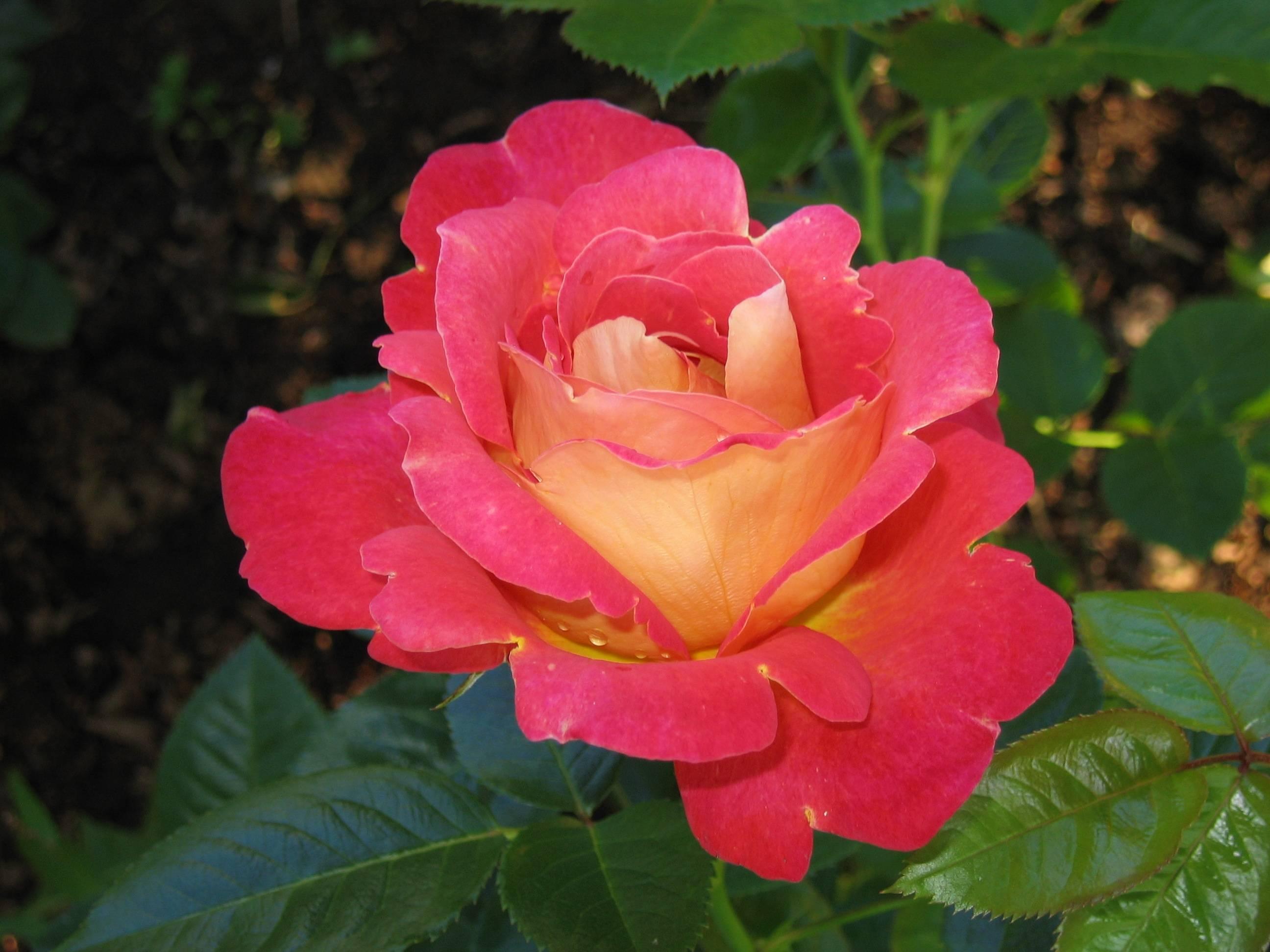 Описание и фото зимостойких сортов плетистых роз, разновидностей, цветущих все лето. а также о посадке и уходе