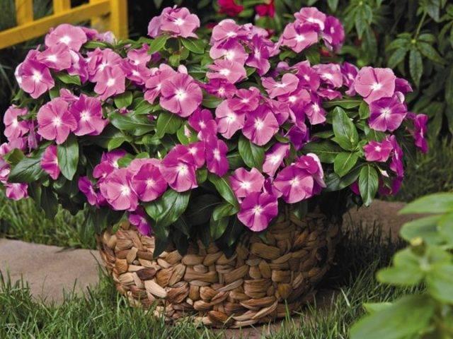 Катарантус ампельный — что за цветок