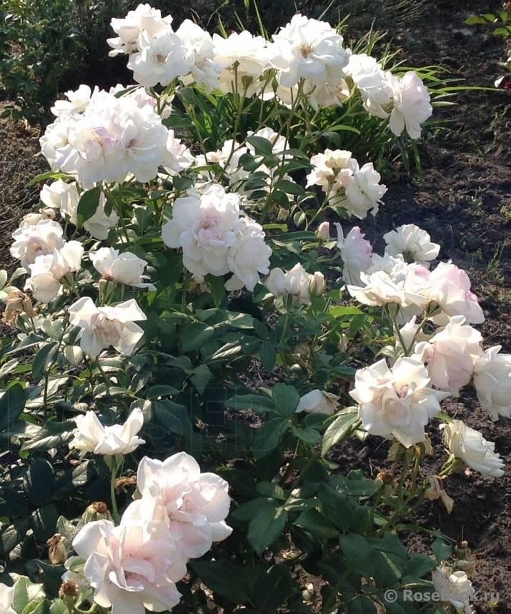 30 лучших сорта роз флорибунда