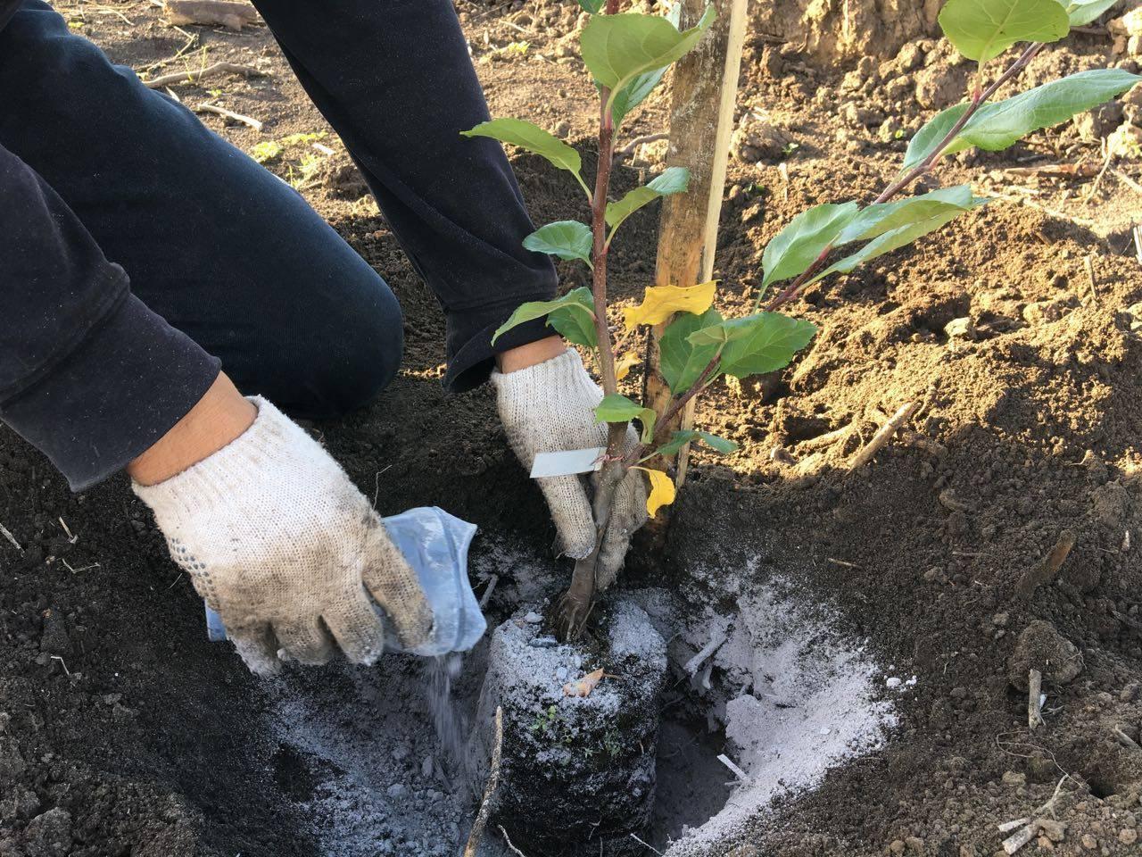 Агротехника выращивания дицентры в саду: как посадить, размножить, обрезать