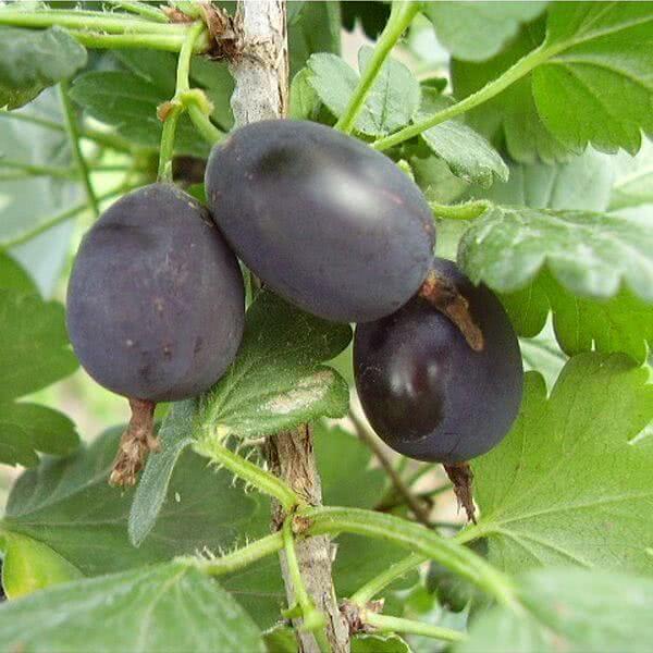 Черный крыжовник — выращивание в домашних условиях